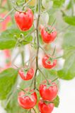 Tomatoes on the vine. Royalty Free Stock Photo