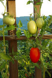 Tomatoes on the Vine. Roma and Lemon Boy tomatoes growing on the vine royalty free stock image