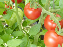 Tomatoes on the vine. Bright red and green tomatoes growing on the vine stock photo