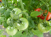Tomatoes on the vine. Bright red and green tomatoes growing on the vine stock image