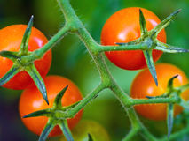 Tomatoes on the Vine. Red, ripe tomatoes still on the vine awaiting to be harvested Stock Image