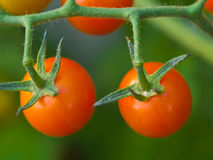 Tomatoes on the Vine. Red, ripe tomatoes still on the vine awaiting to be harvested Stock Photography