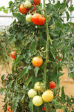 Tomatoes. On the vine in a greenhouse Stock Photography