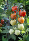 Tomatoes on vine Royalty Free Stock Photo
