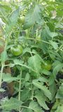 Tomatoes on Vine Planting Project Royalty Free Stock Image