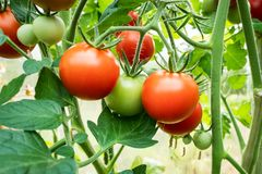 Tomatoes on vine stock photo