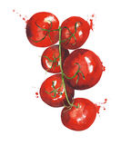 Tomatoes on the vine watercolor painting illustration isolated on white background. Tomatoes on the vine watercolor painting illustration isolated on white Royalty Free Stock Images