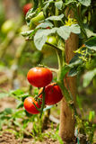 Tomatoes on vines in a greenhouse Royalty Free Stock Photo
