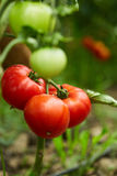 Tomatoes on vines in a greenhouse Royalty Free Stock Image
