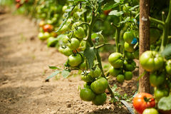 Tomatoes on vines in a greenhouse Royalty Free Stock Photos