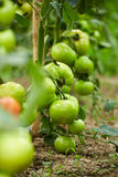 Tomatoes on vines in a greenhouse Stock Photography