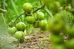 Tomatoes on vines in a greenhouse Stock Photos
