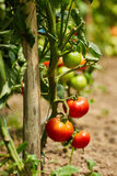 Tomatoes on vines in a greenhouse Stock Photo