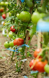 Tomatoes on vines in a greenhouse Stock Image