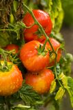 Tomatoes with water drops. Bunch of tomatoes with water drops, in a garden Stock Photos