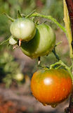 Tomatoes  after watering. Tomatoes growing on a vine  after watering Stock Images