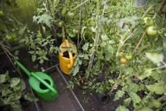 Tomatoes and watering cans in greenhouse Royalty Free Stock Images
