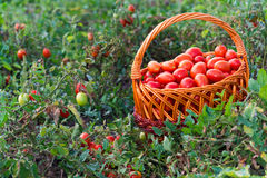 Tomatoes in  wicker basket on the field Stock Photo