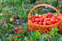 Tomatoes in  wicker basket on the field Royalty Free Stock Image