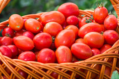 Tomatoes in  wicker basket outdoors Royalty Free Stock Photos