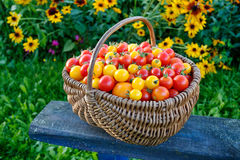 Tomatoes in a wooden basket in a garden. Royalty Free Stock Photo