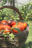 Tomatoes in wooden basket Royalty Free Stock Images