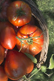 Tomatoes in wooden basket Royalty Free Stock Image