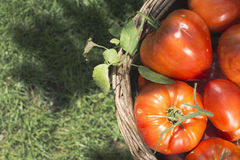Tomatoes in wooden basket Stock Photography