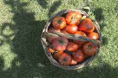 Tomatoes in wooden basket Stock Images
