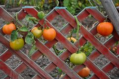 Tomatoes on wooden fence stock images