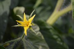 tomato flower Stock Photography