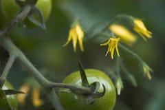 Tomatoflowers und Früchte stockfoto