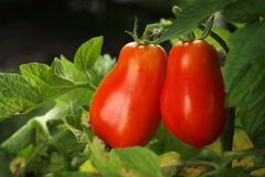 Tomatos. Red, ripe tomatoes still on the vine awaiting to be harvested Stock Photography