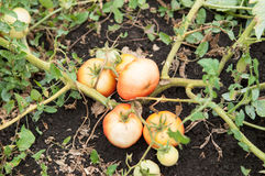 Tomatos damaged by tomato rot and drought Stock Image