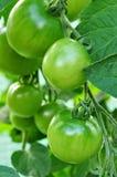 Tomatos Stock Image