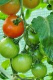 Tomatos Royalty Free Stock Photo