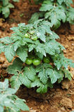 Tomatos In Vegetable Garden Stock Image