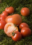 Tomatos on the moss. Tomato - is a cultivated plant. It is commonly cultivated because of its juicy fruits, which are full of vitamins, nutritions and mineral Royalty Free Stock Images