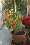 Tomatos out of pot stock photo