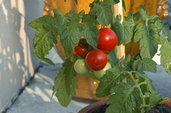 Tomatos out of pot Royalty Free Stock Image
