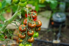 Tomatos in red and green Stock Images