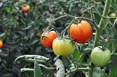 Tomatos in a vegetable garden Royalty Free Stock Photos