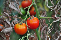 Tomatos in a vegetable garden Royalty Free Stock Photography