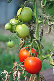 Tomatos in a vegetable garden Royalty Free Stock Image
