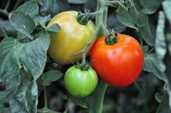 Tomatos in a vegetable garden Royalty Free Stock Photo