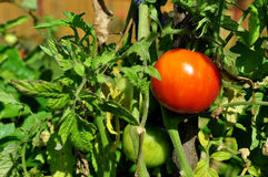 Tomatos in a vegetable garden Stock Images