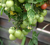 Tomatos on the vine. Cherry tomatoes growing outside on the vine Stock Photo