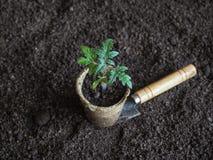 Tomatplanta, innan att plantera Plantera unga växter Arkivbild