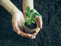 Tomatplanta, innan att plantera Plantera unga växter Arkivbilder