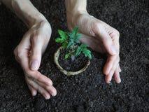 Tomatplanta, innan att plantera Plantera unga växter Royaltyfri Fotografi